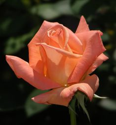 are hybrid tea roses climbers Beautiful Roses, Beautiful Gardens, Beautiful Flowers, Beautiful Things, Agaves, Orange Flowers, Red Roses, Rose Reference, Smelling Flowers