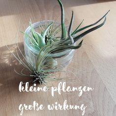 luftpflanzen – kleine zimmerpflanzen mit großer wirkung | green, Garten und erstellen