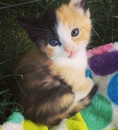 Oh my! What a cute little calico fur baby.