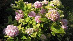Ak chcete, aby vaša hortenzia pekne kvitla, bez rezania sa nezaobídete. Garden Design, Floral Wreath, Home And Garden, Gardening, Wreaths, Flowers, Plants, Hydrangeas, Building