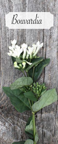 White Bouvardia - Bouvardia symbolizes enthusiasm. It is also used to indicate zest for life.