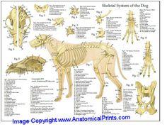 dog care,dog stuff,dog tips,dog training,dog hacks Dog Anatomy, Animal Anatomy, Dog Training Books, Diy Dog Bed, Diy Bed, Veterinary Medicine, Dogs Golden Retriever, Dog Paws, Pet Health