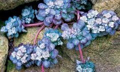 Plant Sedum 'Capo Blanco' to fill in the nooks and crannies in your garden paving and walls. Photograph: Christina Bollen/Gap Photos