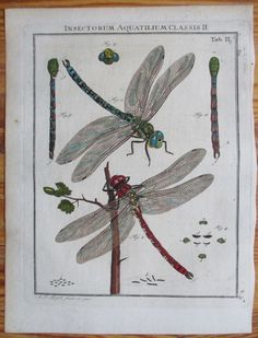 Dragonflies, 1746