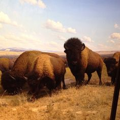 A stunning photo of buffalo, re-pinned from the American Museum of Natural History.