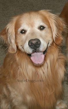 Smiling golden retriever!