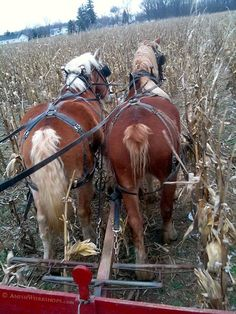 Molly and Babe take us out into the cornfield. Time to do a little husking! This was the day I discovered you can sweat in 20-degree weather.