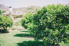 Gal Meets Glam In To The Garden - Lemon and Lime Trees at San Ysidro Ranch, Santa Barbara