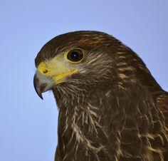 hawks in ireland - Google Search