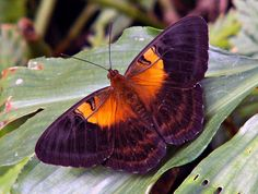 Regal brown and orange Papuan butterfly