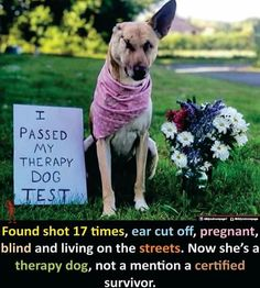 Found shot 17 times, ear cut off, pregnant, blind and living on the streets. Now she's a therapy dog, not to mention a certified survivor. Cute Little Animals, Cute Funny Animals, Funny Cute, Cute Puppies, Cute Dogs, Cute Babies, Funny Dogs, Amazing Animals, Animals Beautiful