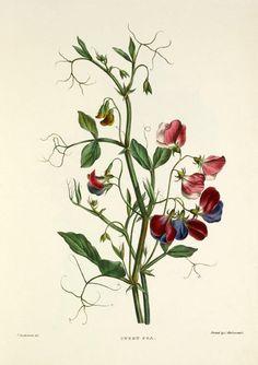 Pierre-Joseph Redouté #botanical #illustration #sweet-pea | RHS-Print-Easyart