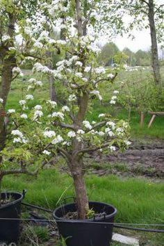 Kleine perenboom in kuip, kan zo de grond in.