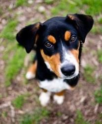 Buster is a Greater Swiss Mountain Dog up for adoption in Belleville, MI!