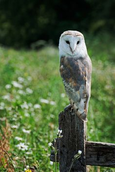 }{  Barn Owl by e_cathedra, at the Barn Owl Centre of Gloucester.