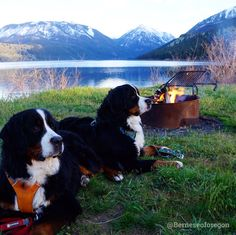 Aww. These Bernese Mountain Dogs are so cute enjoying the Oregon outdoors.