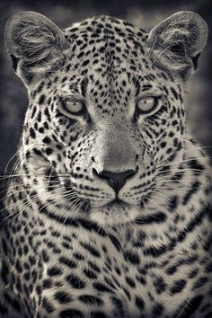 funnywildlife - Portrait of A Predator! Motswari Private Game Reserve, South Africa by Mario Moreno If yo - Leopard Tattoos, Animal Tattoos, Beautiful Cats, Animals Beautiful, Predator, Animals And Pets, Cute Animals, Gato Grande, Photo Animaliere