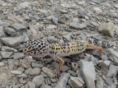 Gecko-Leopardo.jpg (2048×1535)