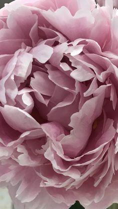 Beautiful pink peonies