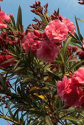 The Oleander Plant adds some mediterranian flair to your container garden. Tips and care instructions for oleander trees, pruning and propagation. Patio Trees, Potted Trees, Trees To Plant, Landscaping Plants, Garden Plants, Oleander Plants, Tree Care, Wonderful Flowers, Unique Gardens