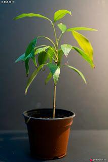 10 tropical fruits eaten = 10 tropical plants to grow! Rare Plants, Exotic Plants, Green Plants, Balcony Garden, Indoor Garden, Indoor Plants, Tropical Fruits, Tropical Plants, Container Plants