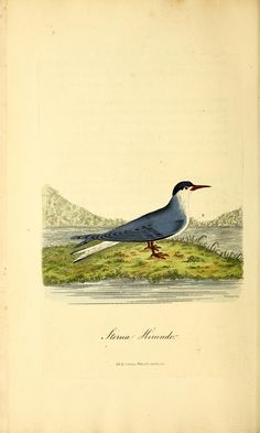v.2 - British ornithology : - 1821 - Biodiversity Heritage Library | Common Tern