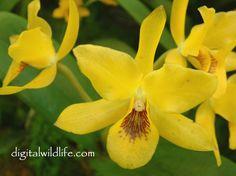 Red Cattleya Aurantiaca | cattleya aurantiaca click for more cattleya orchids