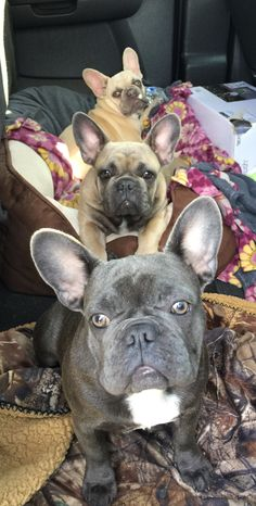 Frenchie totem train, French Bulldogs