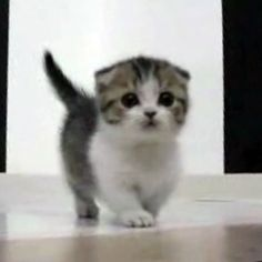 It's a Scottish fold Munchkin cat! this has got to be the cutest thing ever