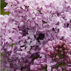 Old-fashioned lilacs grow best in cooler areas, but now there is a lilac for warm regions too. The Lavender lady Lilac has been specially bred to thrive in area Garden Shrubs, Flowering Shrubs, Lawn And Garden, Orchids Garden, Fast Growing Shrubs, Fast Growing Flowers, Lilac Plant, Purple Plants, Syringa Vulgaris