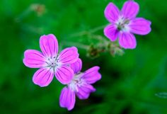 Metsäkurjenpolvi Happy, Nature, Plants, How To Make, Naturaleza, Ser Feliz, Plant, Nature Illustration, Off Grid