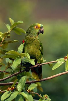 108369Blue-fronted Parrot