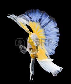 betta: Betta fish, siamese fighting fish, betta splendens (Halfmoon betta )isolated on black background Stock Photo