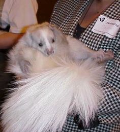 lavender skunk. Cute Funny Animals, Funny Animal Pictures, Baby Skunks, Rare Animals, Wild Animals, Little Pets, Exotic Pets, Beautiful Creatures, Mammals