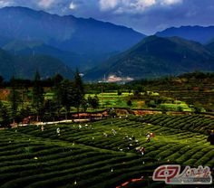 tea gardens of Xinxing Town, Songyang County, in eastern China's Zhejiang Province