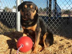 Rottweiler dog for Adoption in Augusta, GA. ADN-436137 on PuppyFinder.com Gender: Male. Age: Young