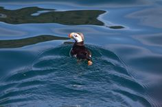 Puffin in Kenai Fjords National Park