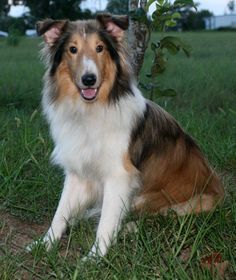 Thunder! Quiet boy who loves to play and snuggle! Available for adoption in Houston with Houston Sheltie Sanctuary.