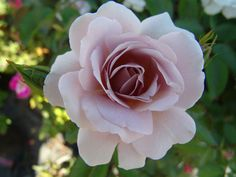 Silver Cloud | Ludwigs Roses : A neat, rounded off bush, covered with flat, double blooms of the most incredible shades of silver & milk-coffee-brown. The bush shows sturdy, vigorous growth & flowers abundantly.