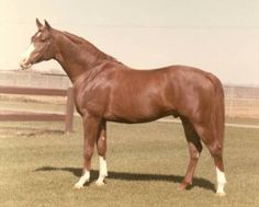 *Orzel, superior Polish-bred performance horse, successful as a racer, English pleasure horse, halter horse, and sidesaddle horse (Picasso's grandsire)