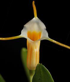 Masdevallia saulii, by weissalberich, via Flickr