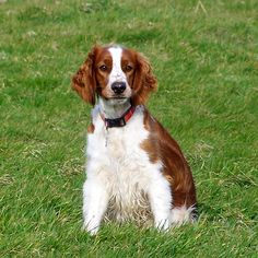 Welsh Springer Spaniel - just what I want!