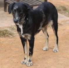 Jasper is an adoptable Australian Shepherd Dog in Charlotte, NC. Jasper is a 9 month old Aussie/Catahoula mix. He weighs 33lbs so will not get much bigger. He is very sweet but a little shy. He is com...