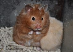 Brown Eared Sable (aka Sable Chocolate) lh hamster (eebbU_ - ll) Hamster Care, Baby Hamster, Hamster Treats, Hamsters As Pets, Pet Rodents, Syrian Hamster, Fluffy Bunny, Hawkins Construction, Cute Animals