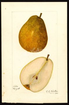 pear-00895 7023-Pyrus communis-Heyst  botanical floral botany natural naturalist nature flowers flower beautiful nice flora plants blooming ArtsCult.com Artscult ArtsCult vintage printable public domain 300 dpi commercial use 1800s 1700s 1900s Victorian Edwardian art clipart royalty free digital download picture collection pack paintings scan high qulity illustration old books pages supplies collage wall decoration ornaments Graphic en