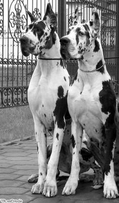 A beautiful pair of Great Danes