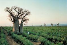Baobab trees on a sisal plantation near Mandrare River Camp, Madagascar.