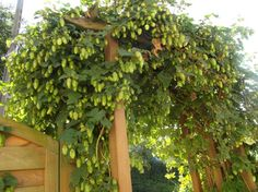 "Fin slyngplante: humle   Hops as decorative ""garden shaper"""