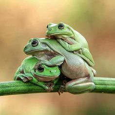 frogs together