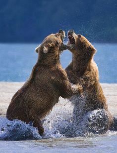 Duelo de osos. #Animals